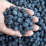 التوت الأزرق يحاصر ضغط الدم في سن اليأس