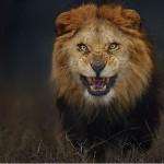 من أجل صورة أسد جائع.. مصور يغامر بحياته
