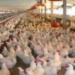 المغرب يوقف استيراد الدواجن الفرنسية بسبب إنفلونزا الطيور