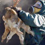 فرنسا تعدم 600 ألف بطة لمكافحة إنفلونزا الطيور