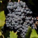 العنب الأسود يمكنه الحماية ضد تصلب الشرايين