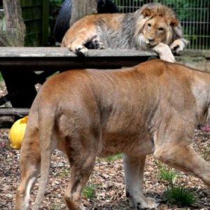 ألمانيا.. حيوانات مفترسة تفرّ من حديقة حيوان والشرطة تلاحقها