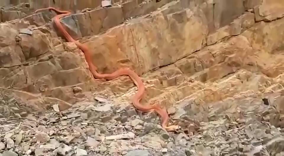 ثعبان السعودية