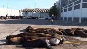 بعد غياب البشر.. أسود البحر تغزو شوارع الأرجنتين