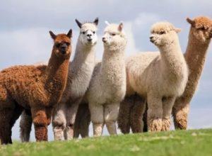 عيادة ألمانية تستخدم حيوانات «الألبكة» كعلاج نفسي لمرضاها
