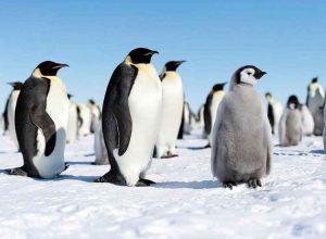التغيرات المُناخية هل ستكون سبب اختفاء طيور البطريق؟