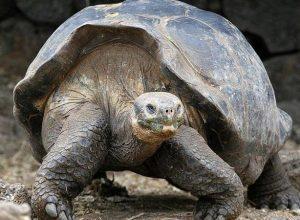 الإكوادور.. بعد «حجر صحي» إعادة عشرات السلاحف إلى موطنها