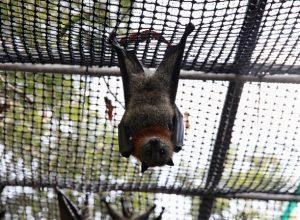 دراسة تكشف سبب عدم مرض «الخفافيش»رغم حملها للكثير من الفيروسات