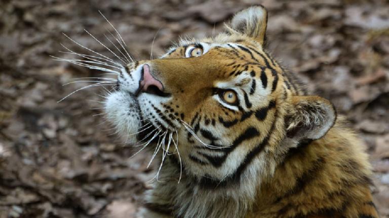 الهند.. أنثى نمر تُمزق راعياً قرب محمية طبيعية