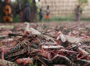 وسط أمطار غزيرة وقيود كورونا.. أسراب «الجراد» تغزو إثيوبيا
