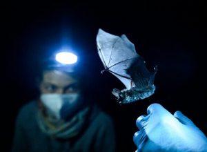 روسيا.. اكتشاف فيروسات «تاجية» في الخفافيش