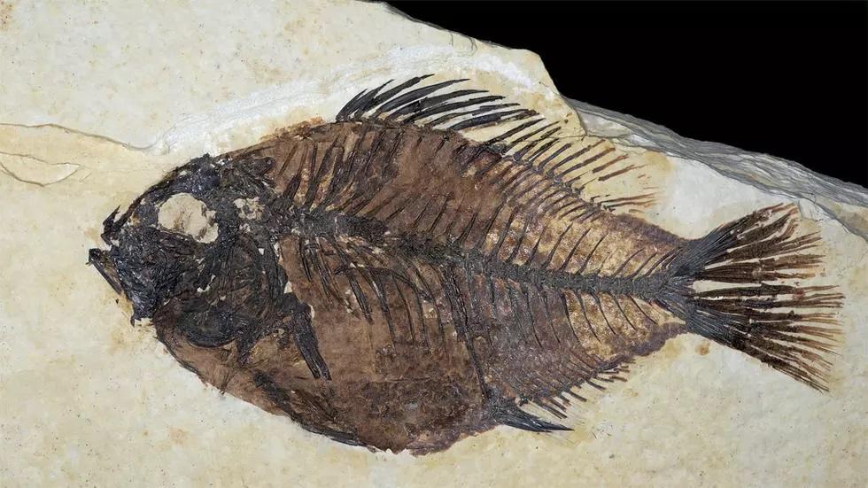 بريطانيا: طفل في الـ6 من عمره يكتشف بالصدفة أحفوريات تعود إلى 488 مليون سنة